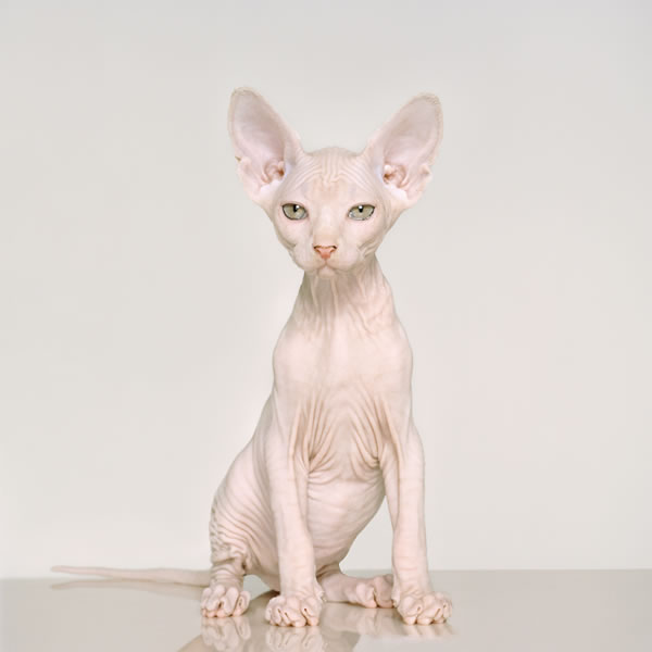 Petrina Hicks © Sphynx, 2011 Lightjet print 100 x 100cm, edition of 8 + 1AP